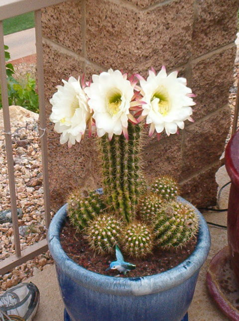 potted blooming cactus in flower garden